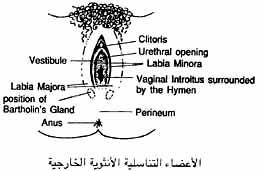 الأعضاء الأنثوية التناسليه الخارجيه
